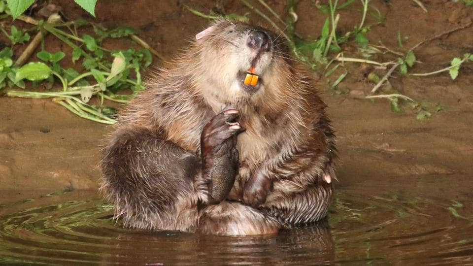 A female beaver is pictured at the River Otter.