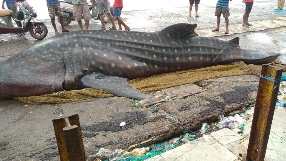 Suresh Warak, range forest officer (mangrove cell), said the shark's carcass had begun decomposing.