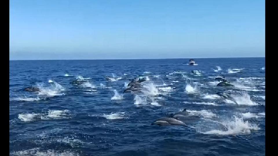 The image shows dolphins leaping several feet into the air above the glistening waters.