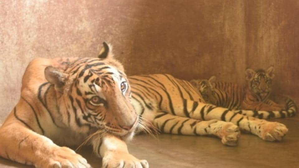 The two tiger cubs, Sultan and his unnamed sister, with their mother Kazi at the Assam state zoo in Guwahati.