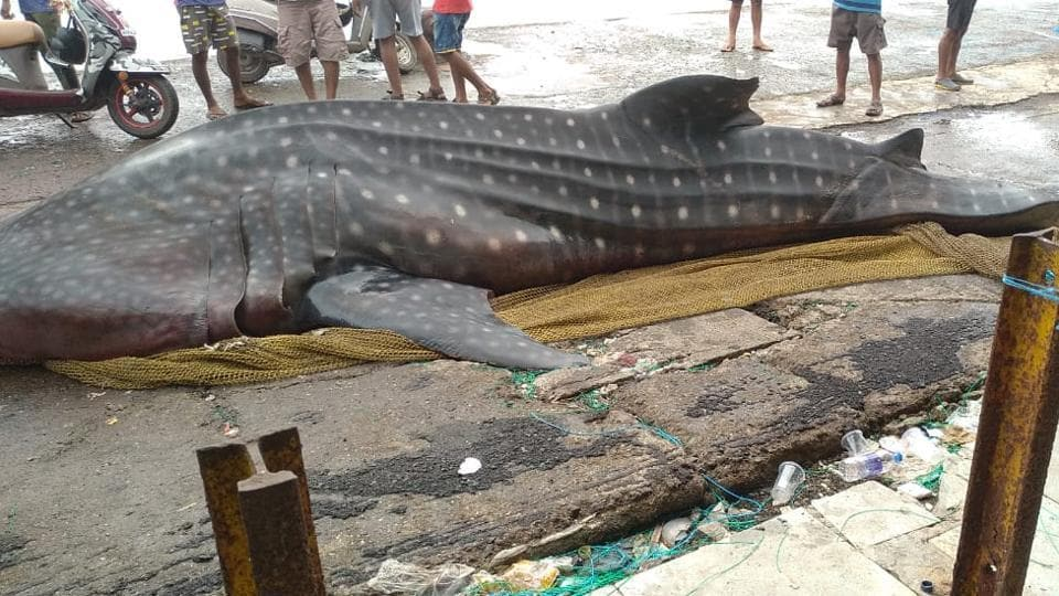 The carcass of a 20-foot-long dead female whale shark was caught by a fishing boat which was brought to Sassoon Dock in Colaba.