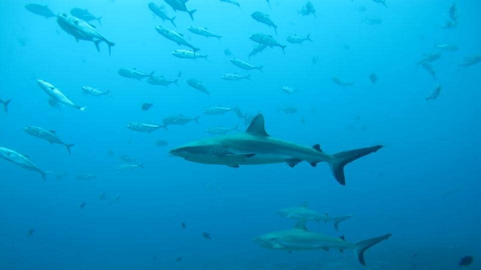 Gray reef sharks, the subject of a study on social behaviour among sharks, are seen in the Pacific Ocean around the Palmyra Atoll, about 1,000 miles (1,600 km) southwest of Hawaii in this undated photo released on August 12, 2020.