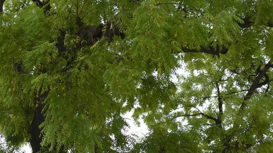 Neem's anti-inflammatory, anti-viral, and antioxidant properties could be beneficial in preventing Covid-19.