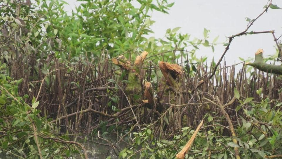 On Friday, local resident and birder Parag Gharat found that 40 mangrove trees were hacked towards the creek-end of Panje from where high-tide water flows into the area.