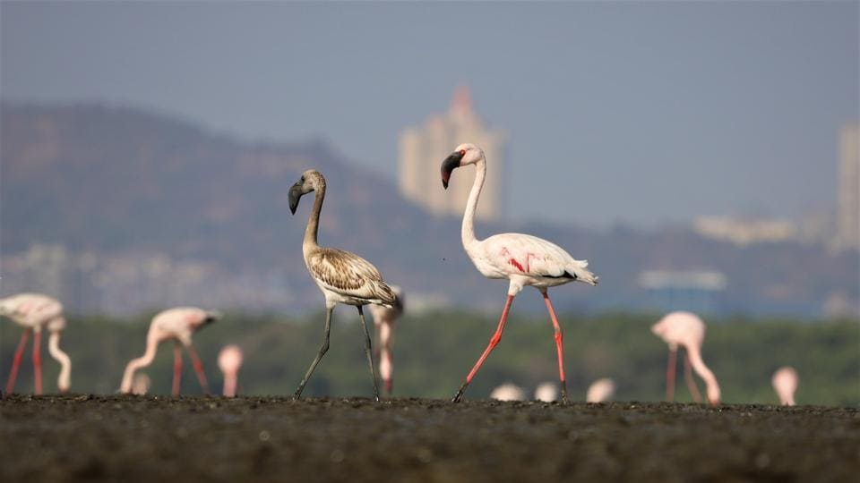 Flamingo numbers at the 500-hectare Sewri mudflat were 13,813 in January 2019 and 60,733 in March 2019, which fell to 4,395 in January 2020 and 4,106 in March 2020.