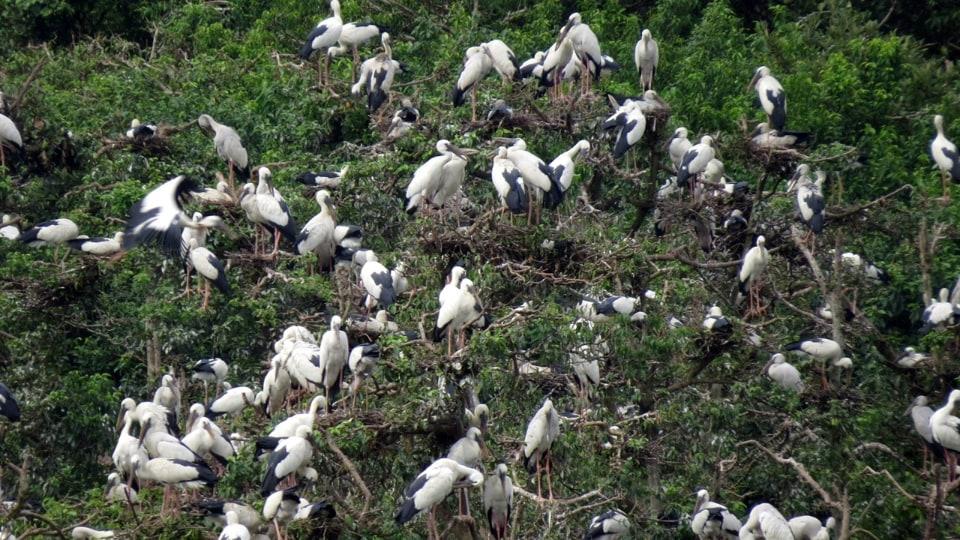 A flock of open billed storks in Bhitarkanika National Park in Odisha.
