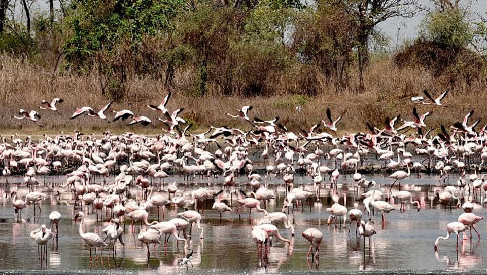 Flamingos at a pond behind TS Chanakya Neru in Navi Mumbai. Flamingos are known to feed on algae, crustaceans, shrimp, and aquatic plants, which give them pink colour.