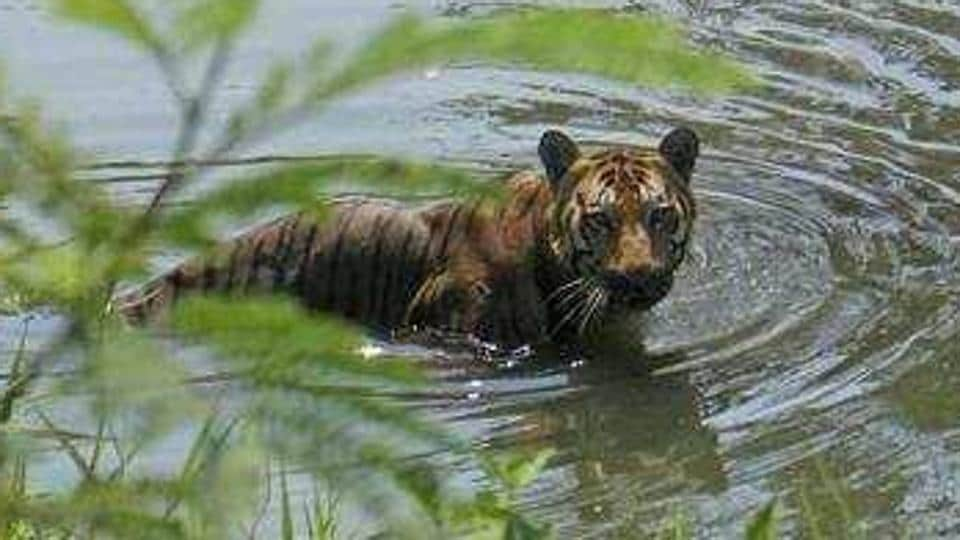 The Sunderbans in West Bengal is home to the only tiger that lives in mangrove forests.