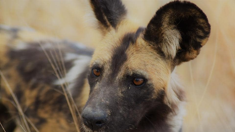Close-knit nomadic packs of 20 to 30 African wild dogs, native to southern and eastern Africa, hunt prey including antelopes such as impalas, gazelles and kudus using complex coordinated strategies.