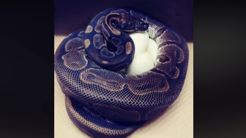 The image shows the snake with its egg.