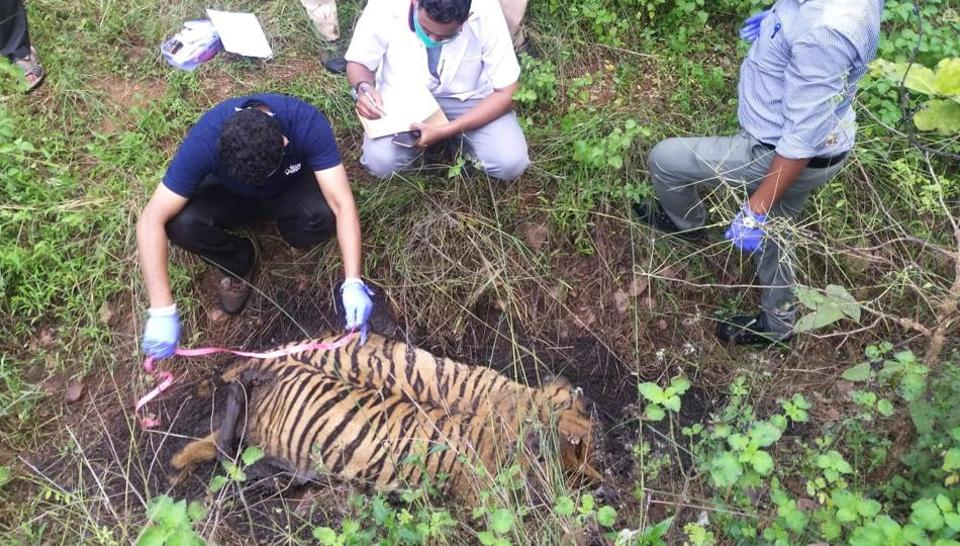 The carcass of the tiger was discovered onSaturday evening in the Umred Paoni Karhandla (UPK) Sanctuary.