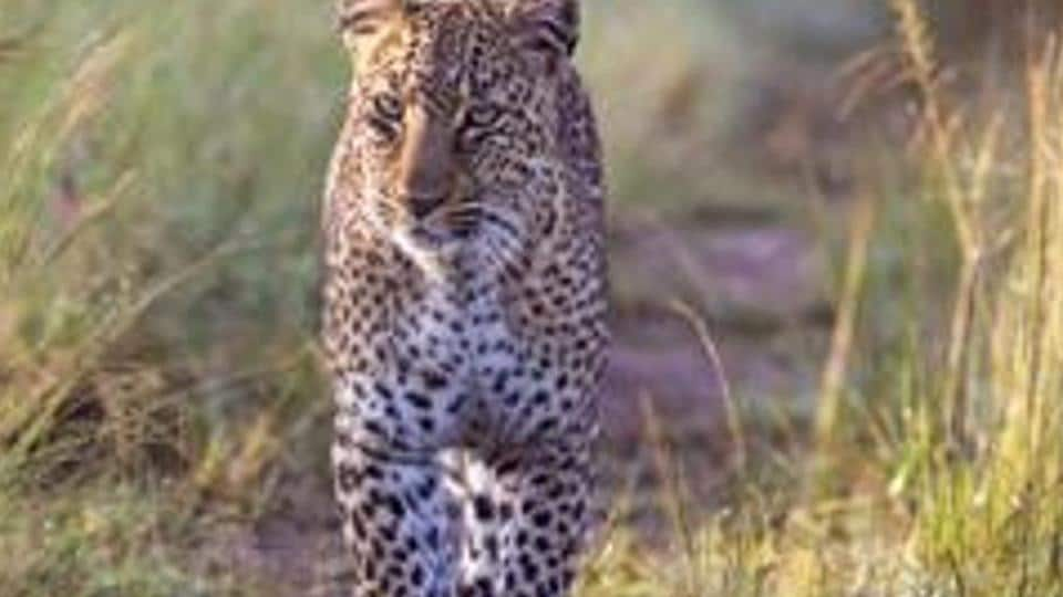 The forest officials maintain that a leopard cannot be considered to have turned dangerous until it attacks humans.