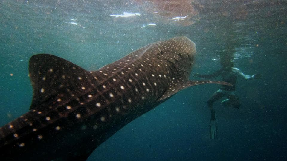 A snorkeler swims with a 6 meter (20-foot) whale shark.