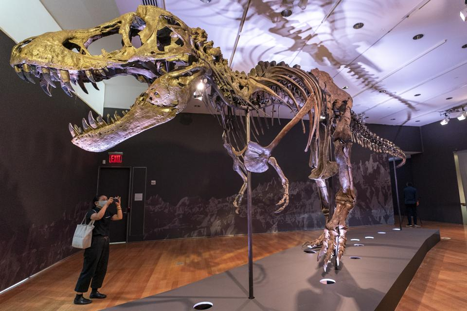 Stan, one of the largest and most complete Tyrannosaurus rex fossil discovered.