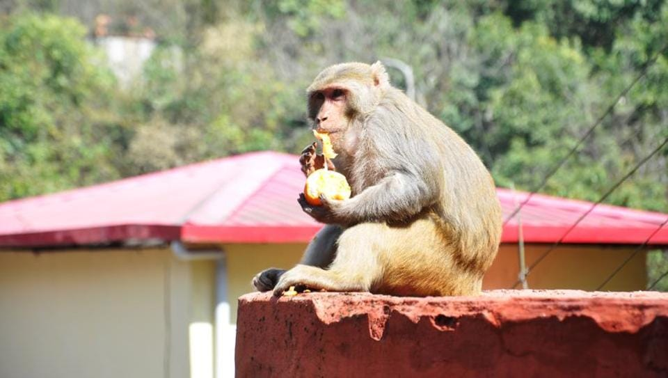 The initiative is touted to be the country's largest project to catch monkeys and shift them to open forest enclosures.