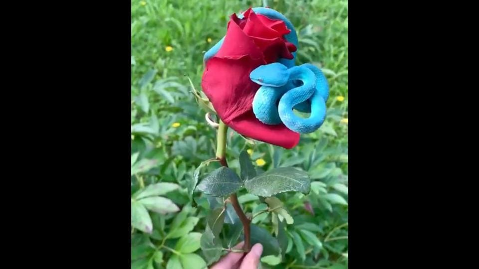 The snake wrapped around the rose.