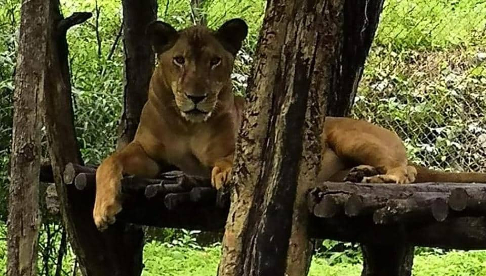 The department will send a proposal to the Telangana forest department next week requesting the authorities concerned for two pairs of lions to be sent to SGNP from Nehru Zoological Park in Hyderabad.