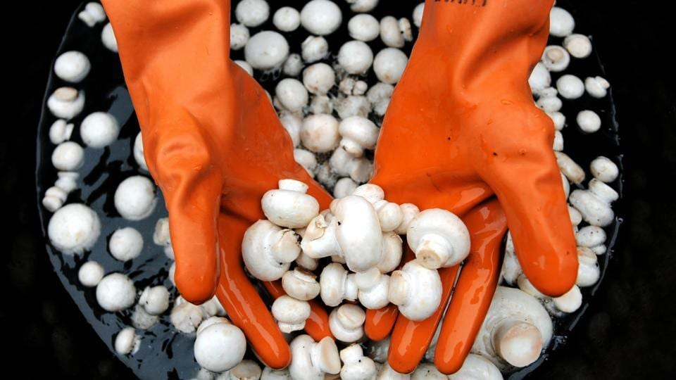 State horticulture department officials said around 140 among the query-seekers have got themselves registered for the mushroom farming training programme.