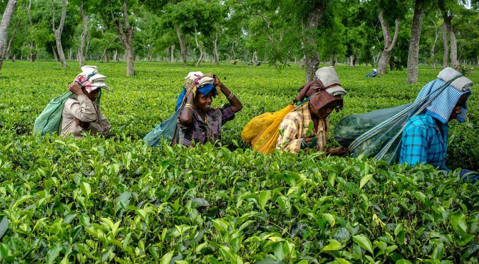 The lockdown had impacted the first flush, which occurs between March and April annually and accounts for the best quality of tea leaves for the rest of the year.