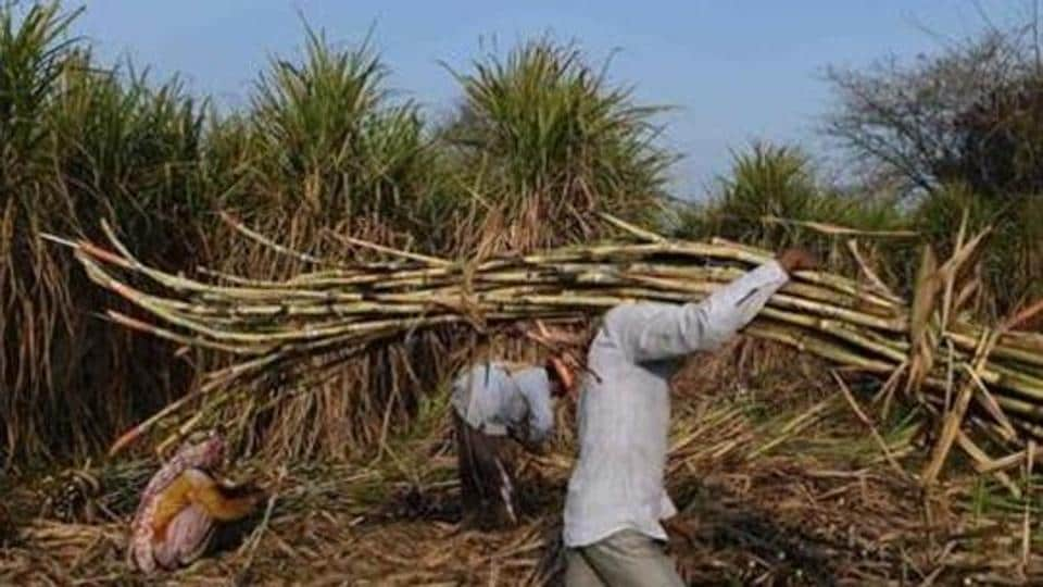 A  farmer carries sugarcane to load on a tractor to sell it at a sugar mill.