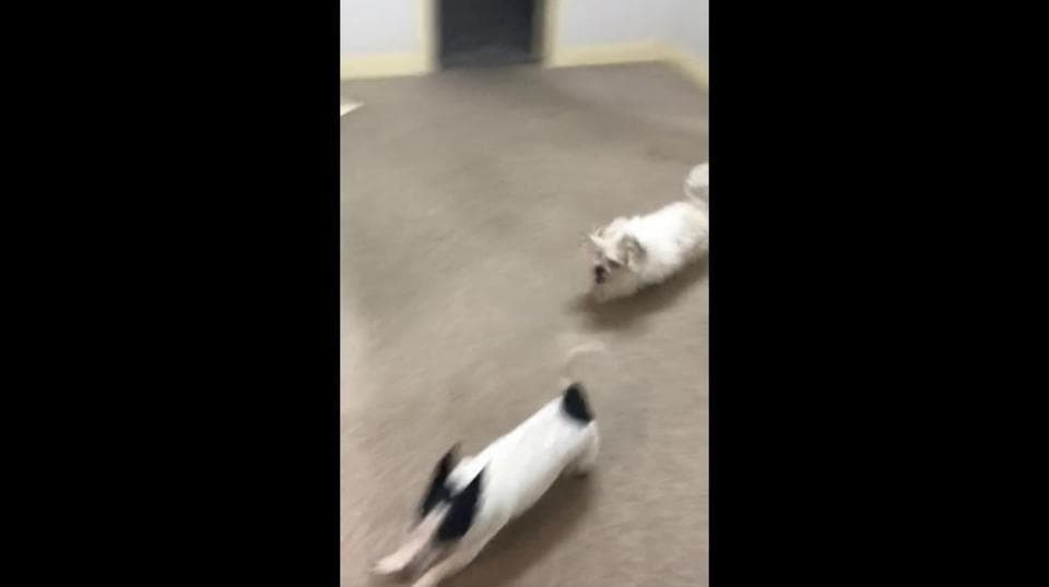 The image shows two dogs running around indoors.