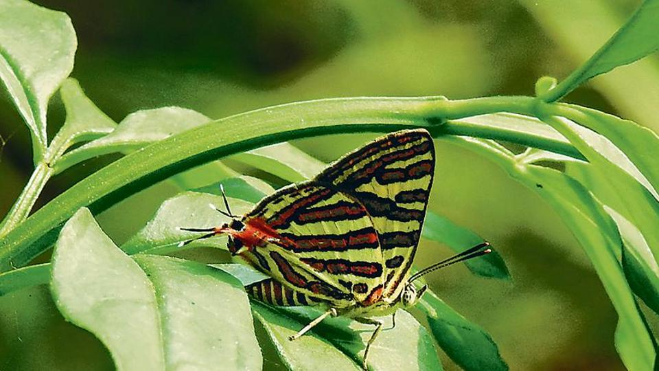 Delhi: 71 butterfly species spotted