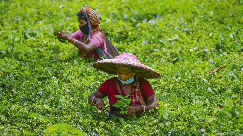 According to tea producers, the hike in tea prices is mainly due to the drop in production for nearly a month (from March end to early May) during the Covid -19-induced national lockdown apart from extended rainfall this year.