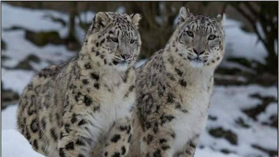 The image shows snow leopards.