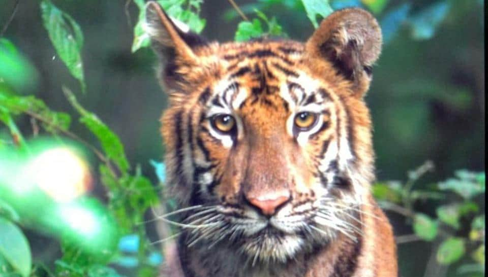 The tigress to be captured in Yavatmal district of Maharashtra.