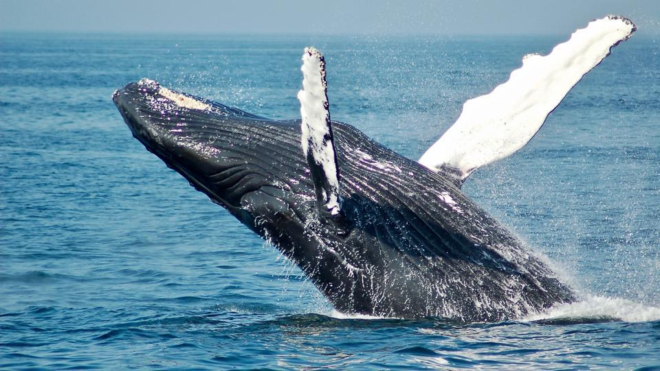 Mass whale strandings have occurred throughout recorded modern history, and likely earlier.