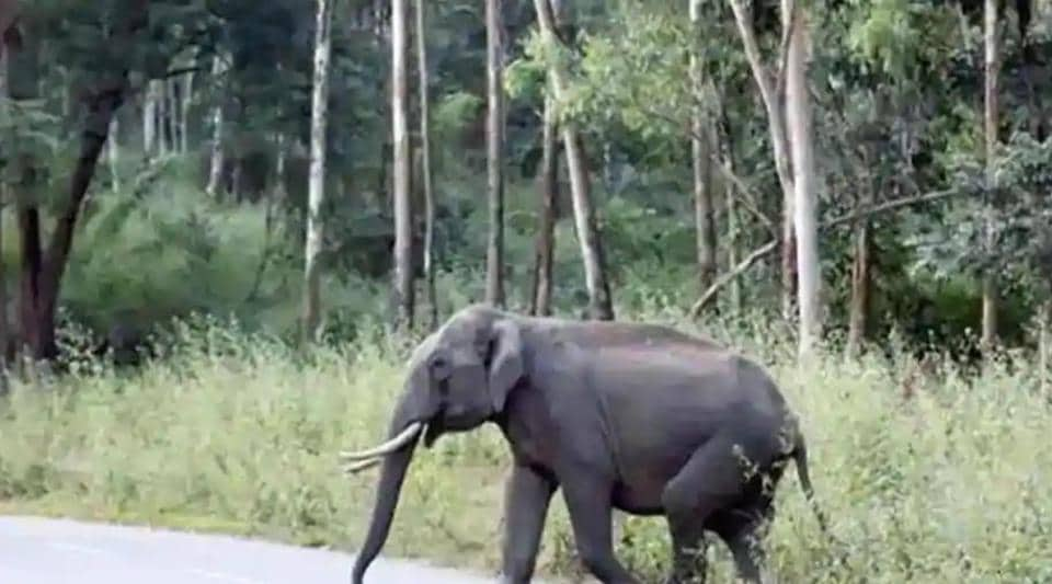 North Chhattisgarh is home to around 240 wild elephants, which roam in plains of the state. Several reports of human-elephant conflicts have surfaced in the last few years in the region. (HT file photo)