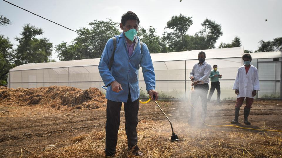A man seen spraying decomposing chemical over straw waste at Indian Agricultural Research Institute during Delhi CM's  Arvind Kejriwal's visit, in Pusa, New Delhi.