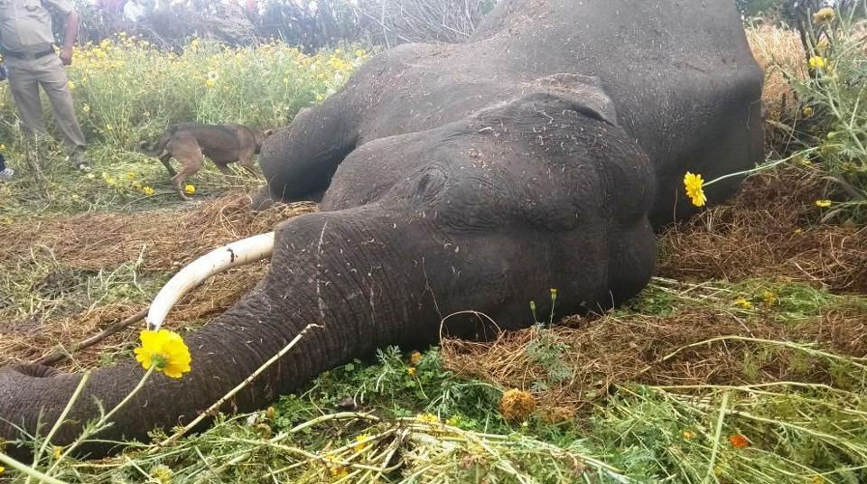 The tusker was the second elephant to be killed in Odisha this week.
