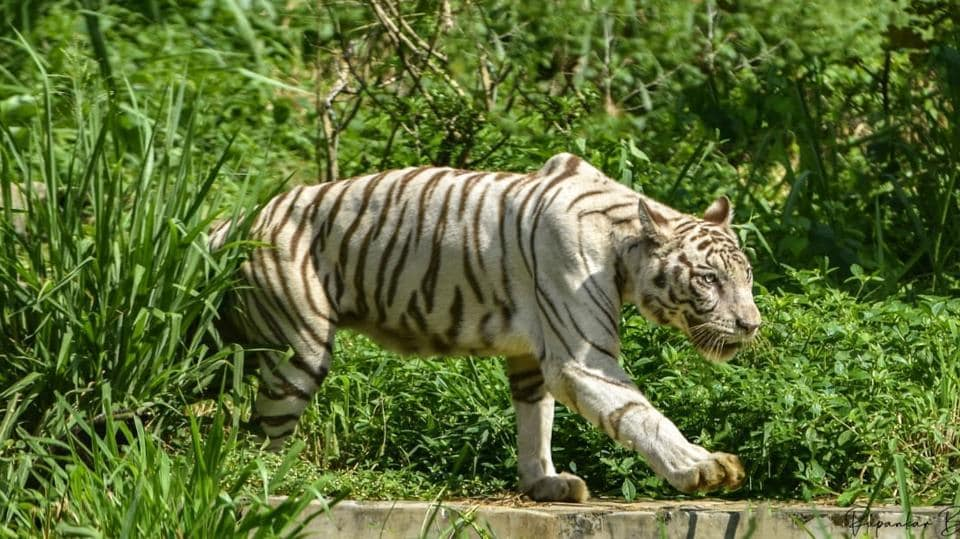 A white tiger at the Assam State Zoo in Guwahati. At present, the zoo has 8 tigers, 3 lions, 26 leopards and other small cats like leopard cat, jungle cat etc.