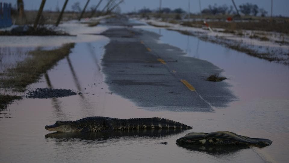 An alligator crosses a flooded road after Hurricane Delta made landfall in Creole, Louisiana on October 10. Floodwaters surged up houses and carried bags of trash and muck inshore, sweeping up piles of debris from the prior storm, AP reported. (Luke Sharrett / Bloomberg)