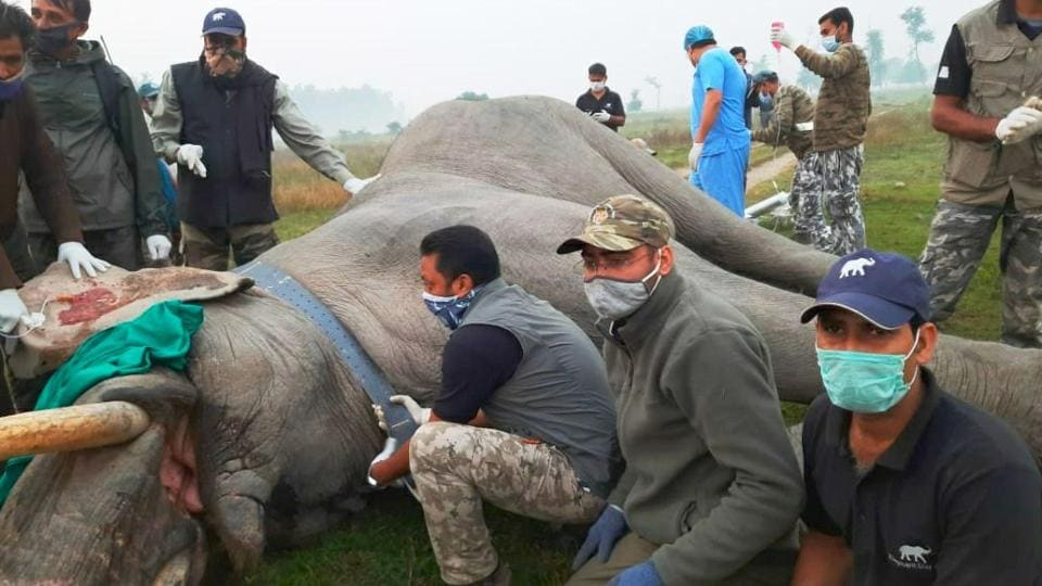 A 35-year-old elephant being radio-collared in Haridwar forest division in Uttarakhand