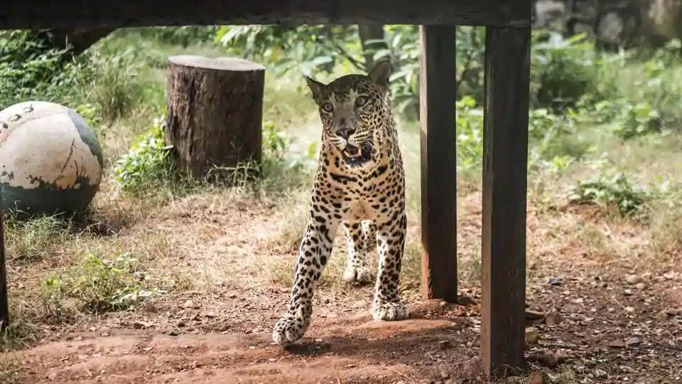 The leopard attacked the girl when she was playing outside her house in the village.