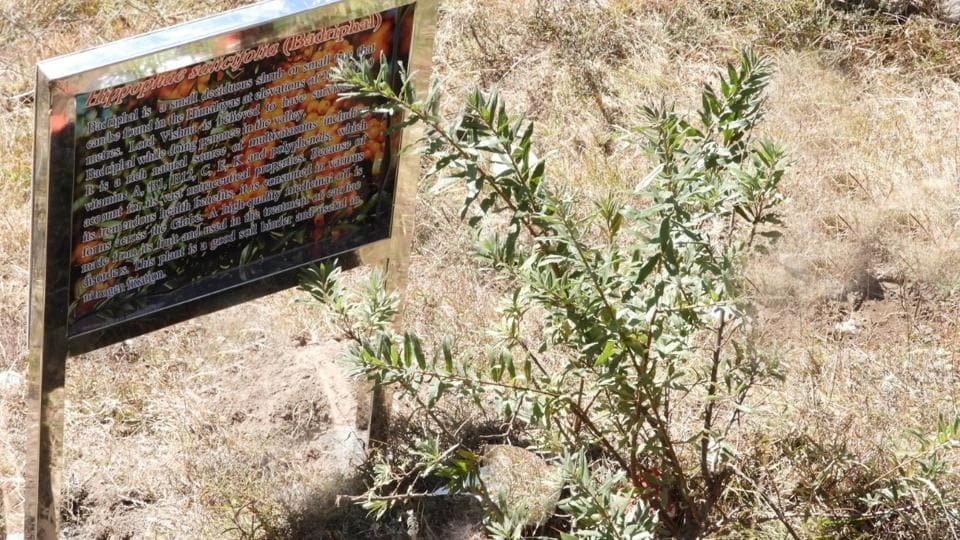 Special sacred forest patch Badrivan (The Forest of Lord Badri) where four sacred plant species associated with Lord Badri-the deity enshrined at Badrinath, have been grown