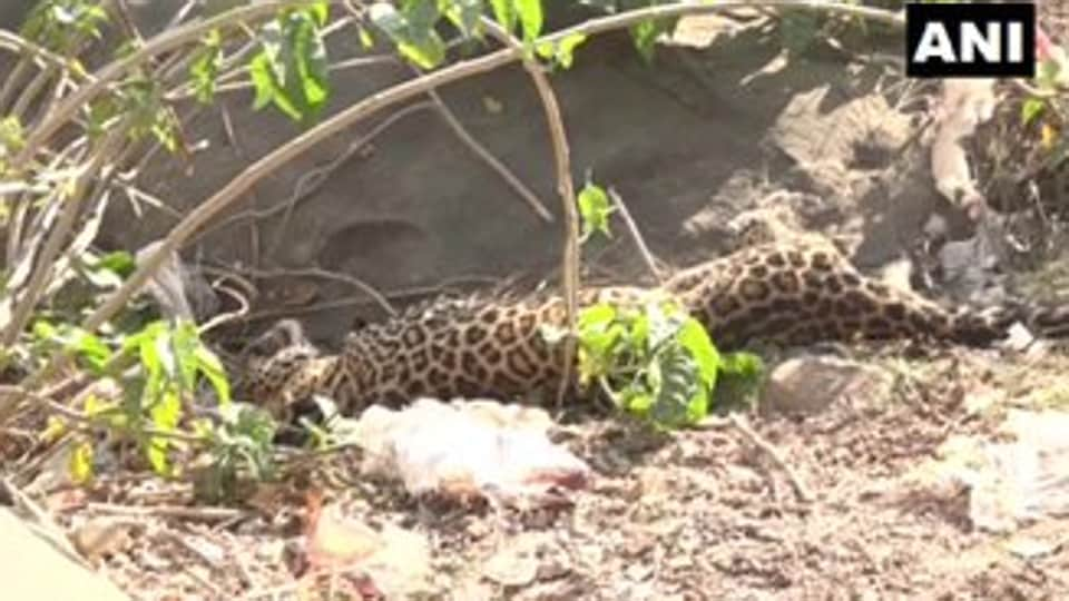 The leopard was spotted by locals at the village outskirts.