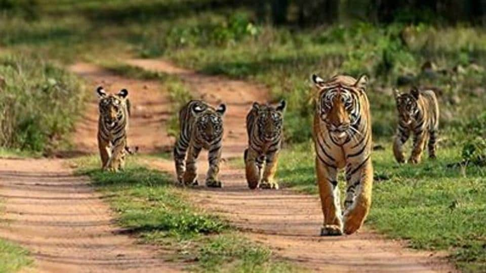 The Tigress was spotted with her four cubs a few days ago and authorities are worried about the three missing cubs.