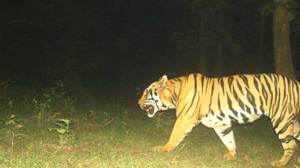 Wildlife activists said any operation to capture the tiger after sundown was against NTCA's guidelines.