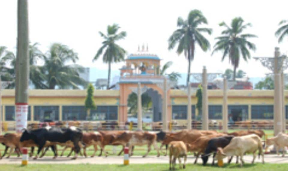 Cows at  Assam's oldest cow shelter,  Shree Gauhati Gaushala in Guwahati.