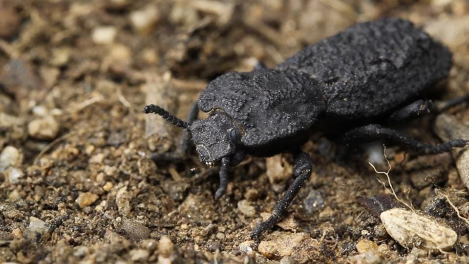 This image shows a diabolical ironclad beetle.