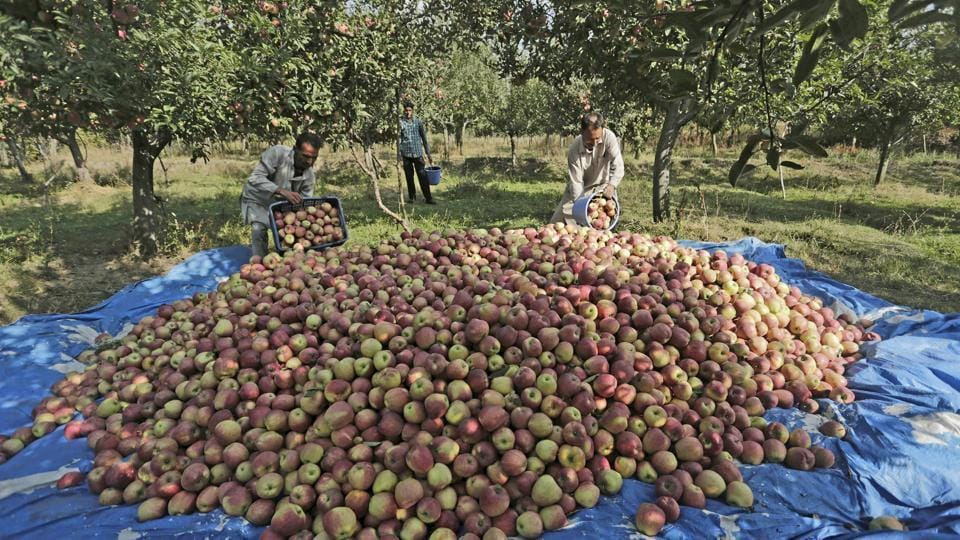 Apple growers  with their produce in Kashmir's  Budgam.