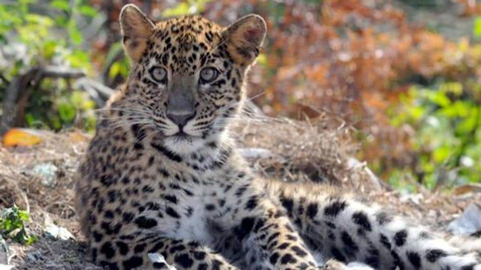 Man-animal conflicts have risen in Uttarakhand in the recent times with several incidents of leopard attacks reported.