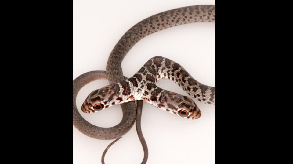 The image shows the rare two-headed snake.