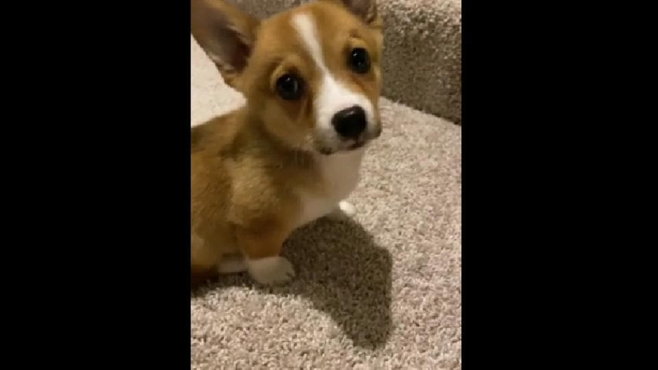 Corgi pup figures out 'science' behind stairs. Netizens can't stop cheering her