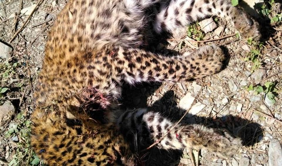 The carcass of a leopard cub found at Veer Bhatti in Nainital on Saturday.
