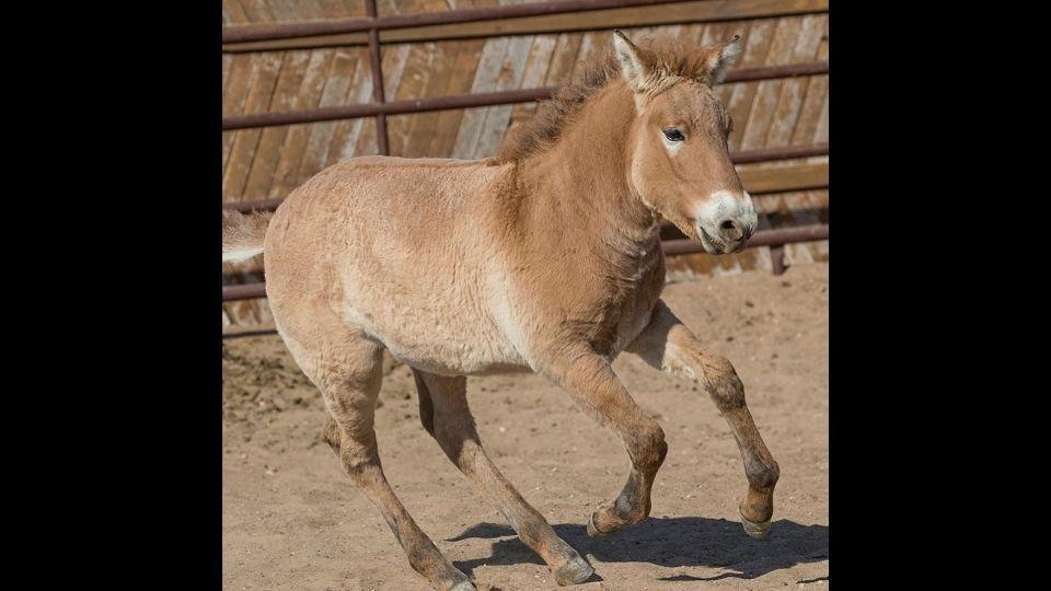 The image shows cloned Przewalski's horse named Kurt.