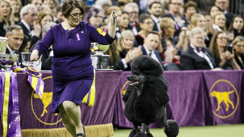 The Westminster dog show, US' top pooch pageant, will be held outdoors at an estate about 25 miles north of Manhattan on June 12-13 because of the pandemic.